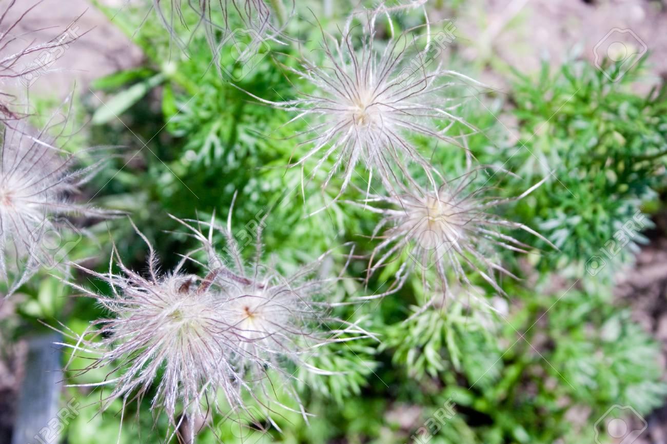 Closeup of a pasqueflower in a garden - outdoor shot Stock Photo - 6909557