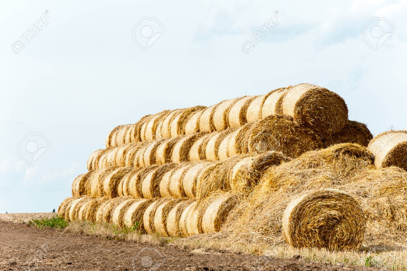 Many Yellow Straw Bales Rolls On Stubble Field After Harvesting