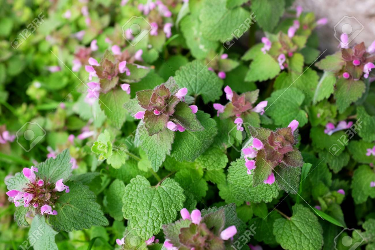 Purple dead nettle plant verdant herbaceous weed with pink flowers purple dead nettle plant verdant herbaceous weed with pink flowers stock photo 74564362 mightylinksfo