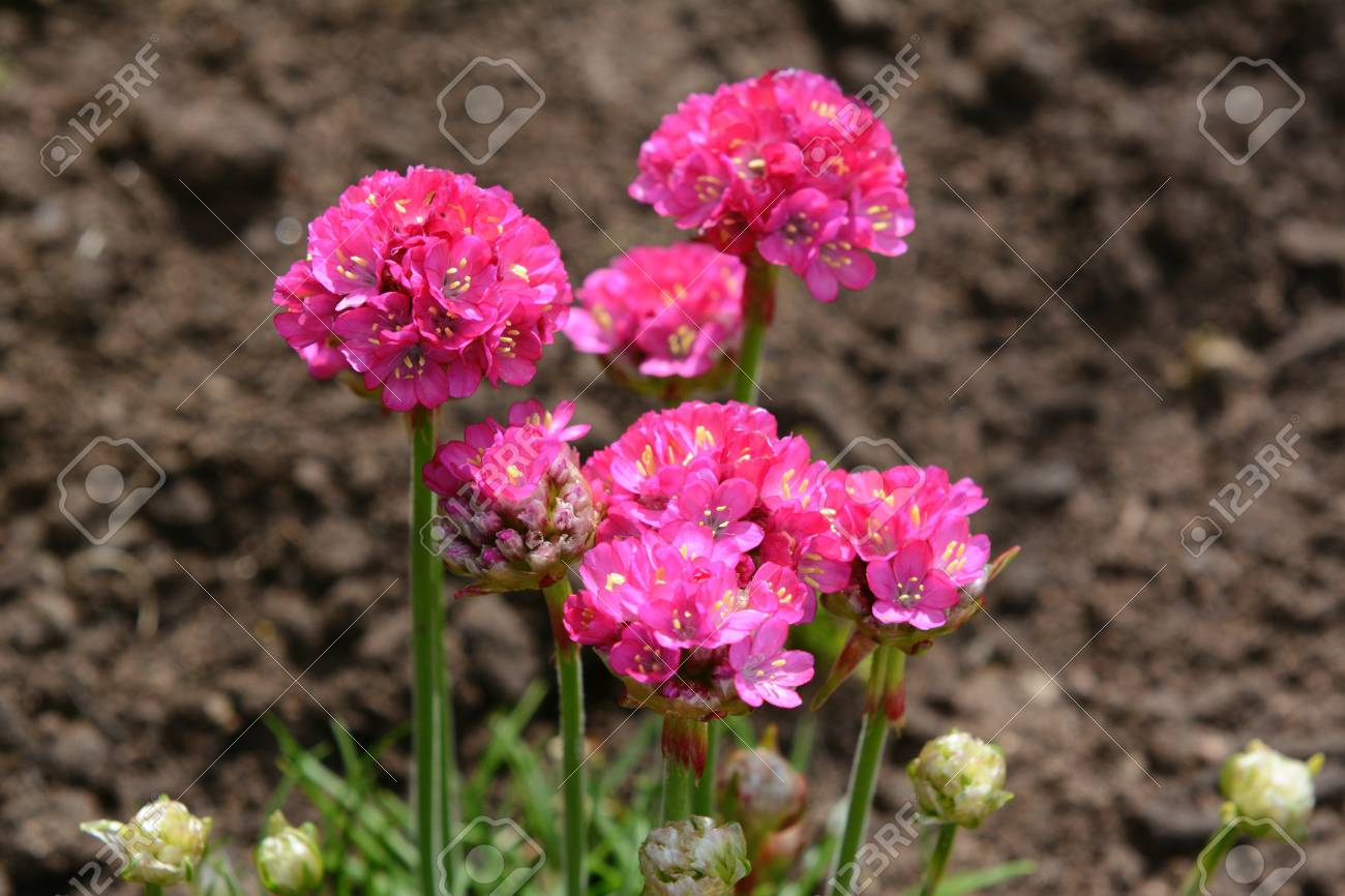 Bright Pink Flowers Of Armeria Also Known As Ladys Cushion
