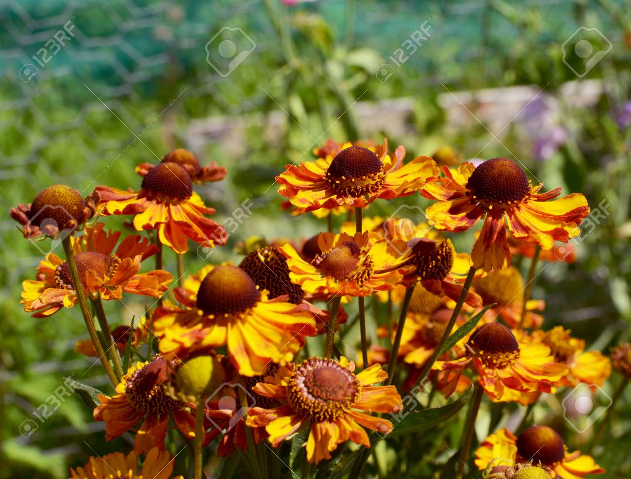Cluster Of Red Brown And Yellow Helenium Flowers Common Name