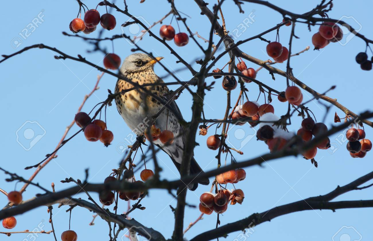 Fieldfare Sits Among Branches Of A Crab Apple Tree With Snow