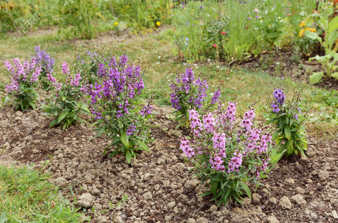 Garden Flower Bed Filled With Angelonia Plants In Shades Of Pink