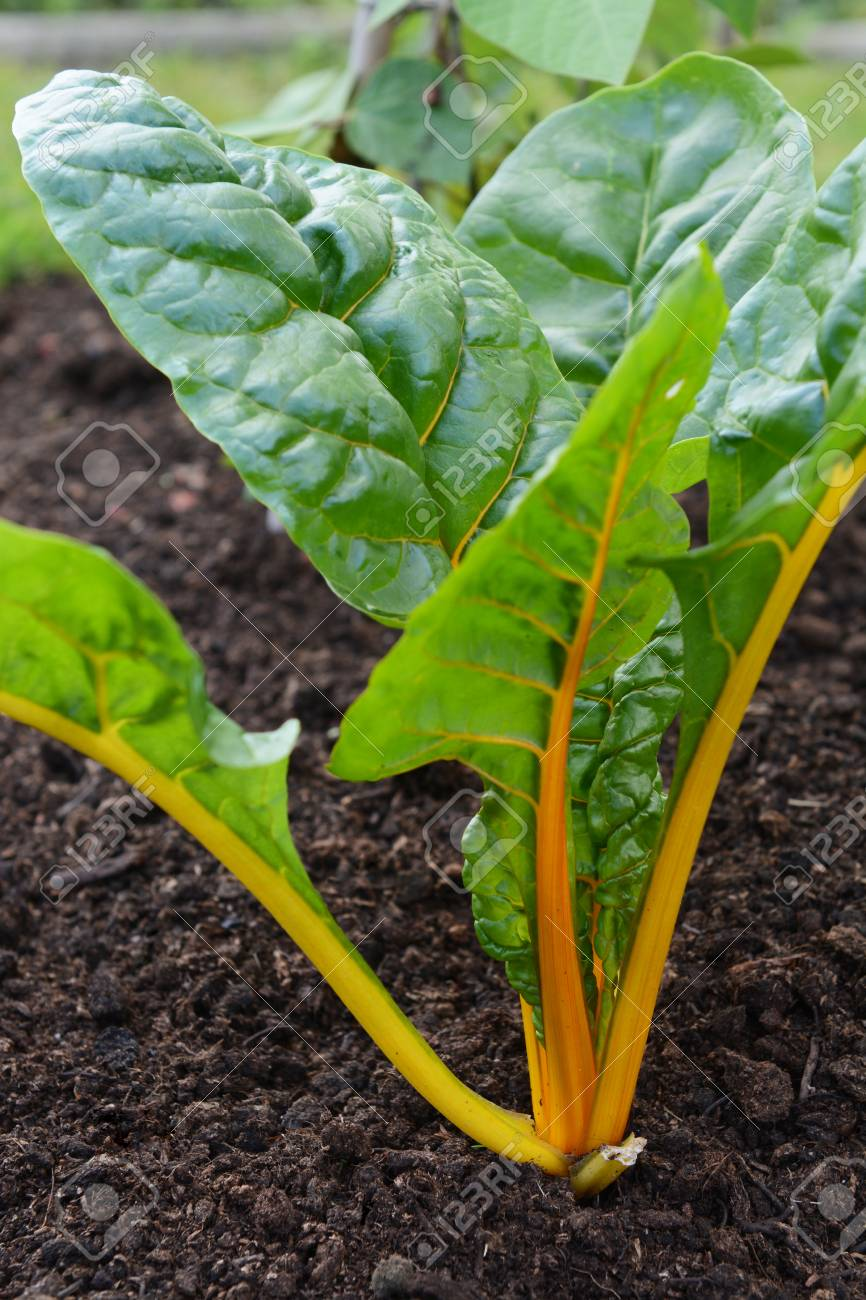 Yellow Stems Of A Rainbow Chard Plants With Large Green Leaves Stock Photo Picture And Royalty Free Image Image 112527615