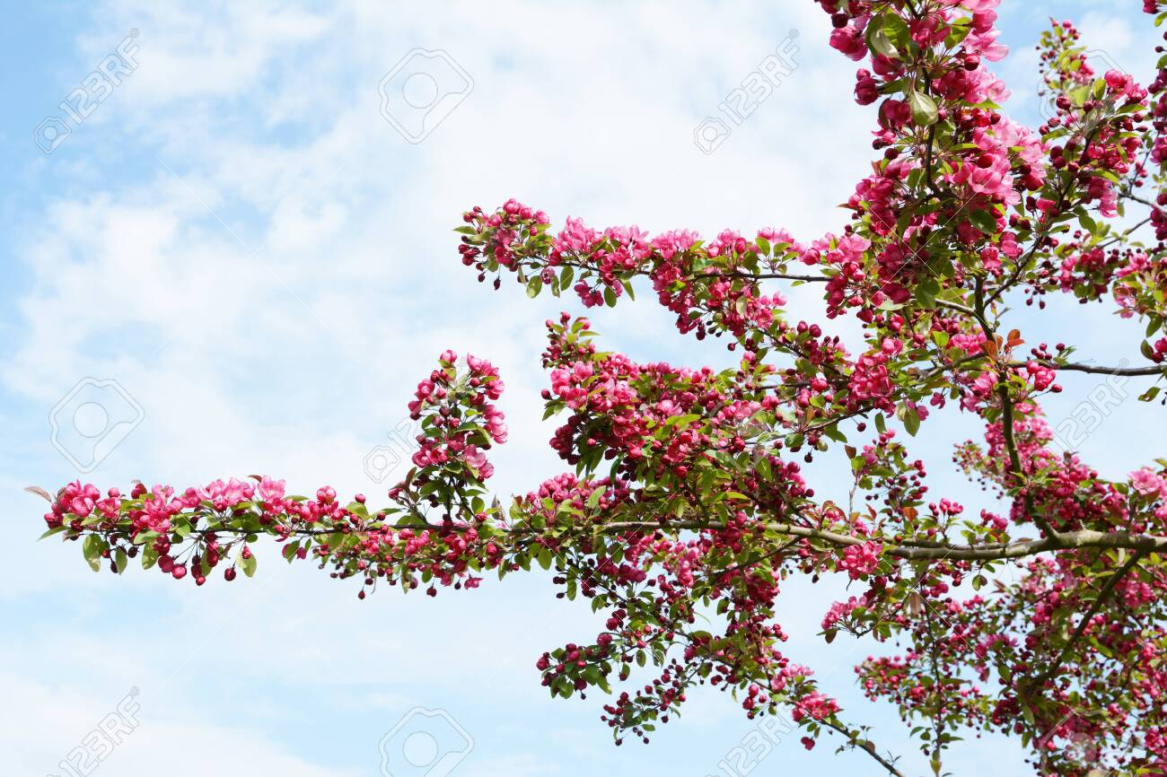 Branches Of A Crab Apple Tree Covered In Abundant Deep Pink