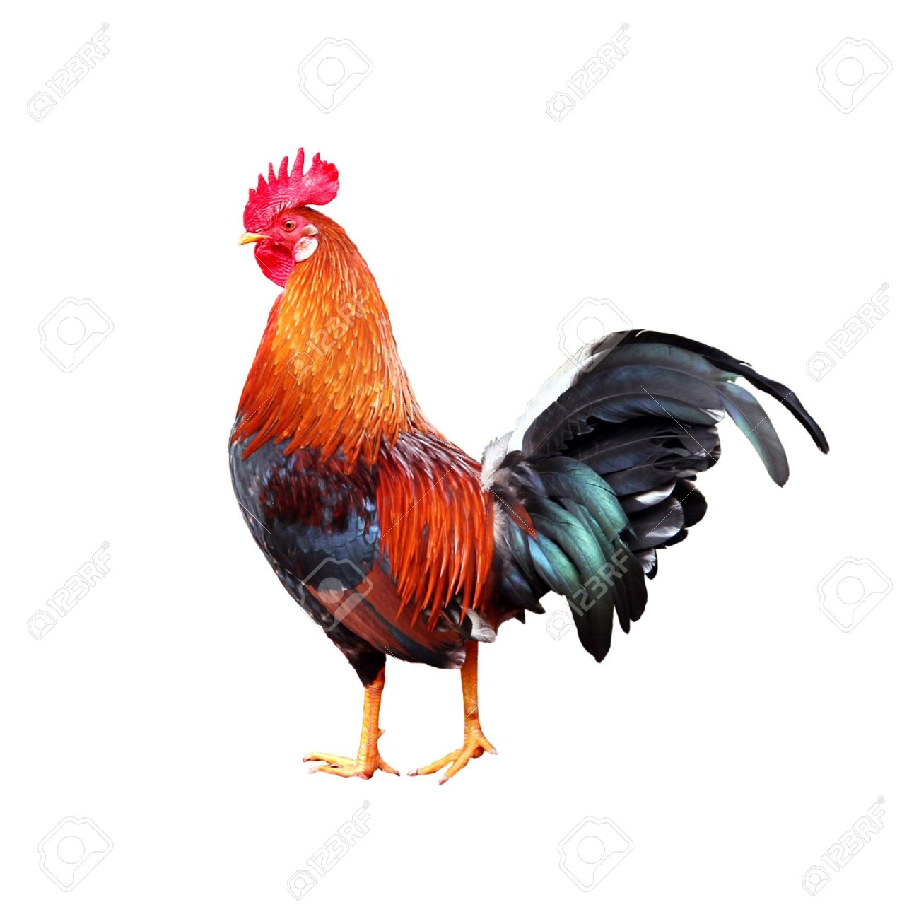 colourful rooster american brown leghorn rooster on white