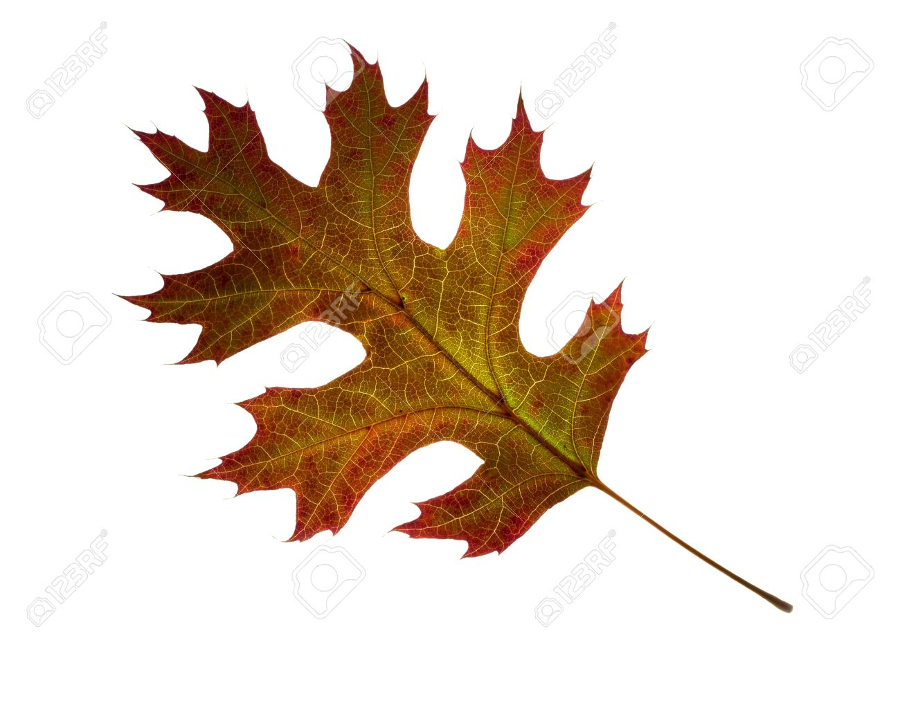 Close Up Of Autumn Northern Pin Oak Leaf On White Background Stock Photo Picture And Royalty Free Image Image 16460724