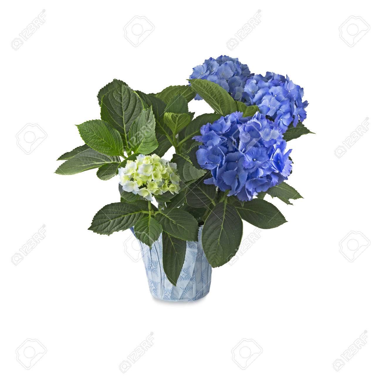 Blue Hortensia (Hydrangea) In Pot On White Background Stock Photo ...