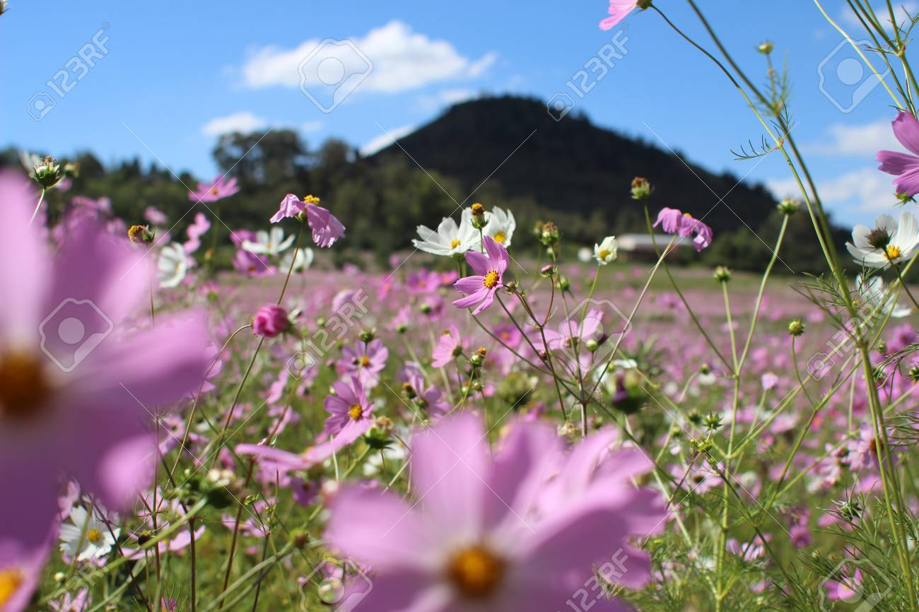 Field Of Pink Flowers Stock Photo Picture And Royalty Free Image