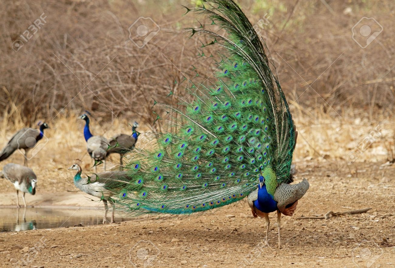 7483909-Indian-Peacock-dancing-in-the-ju
