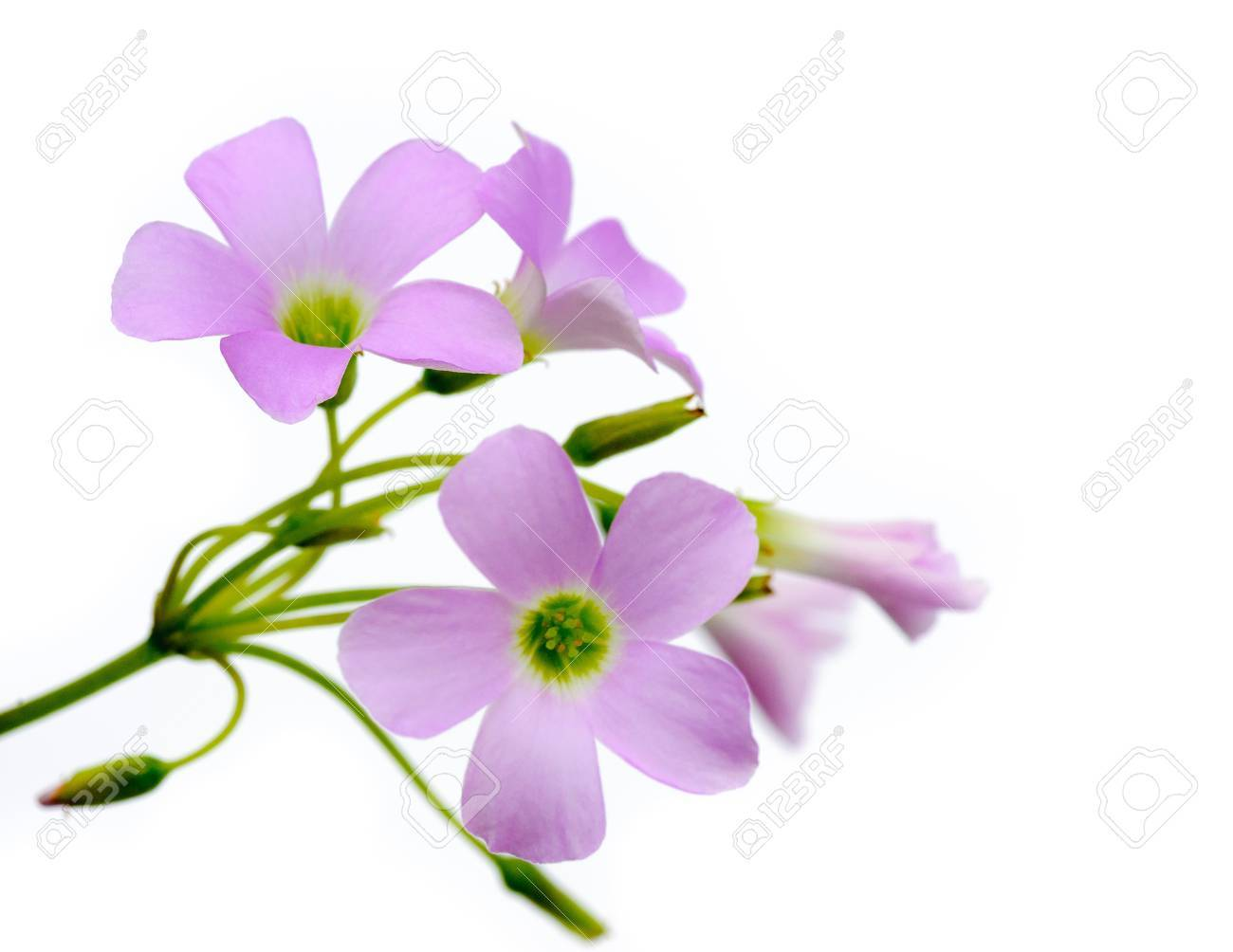 Lovely Purple Flowers Against White Background Dianthus Flowers