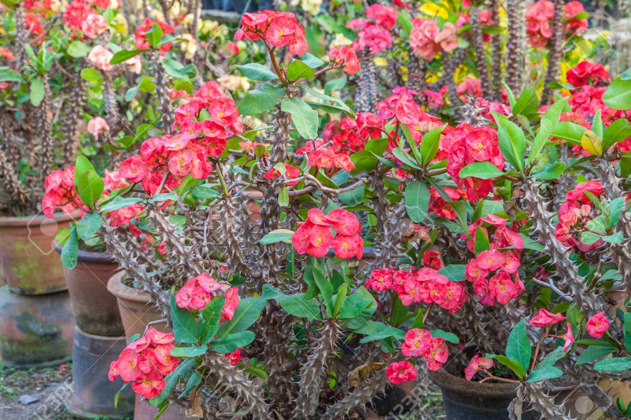 Euphorbia Plants And Flowers Ltd Sian Flowers Euphorbia