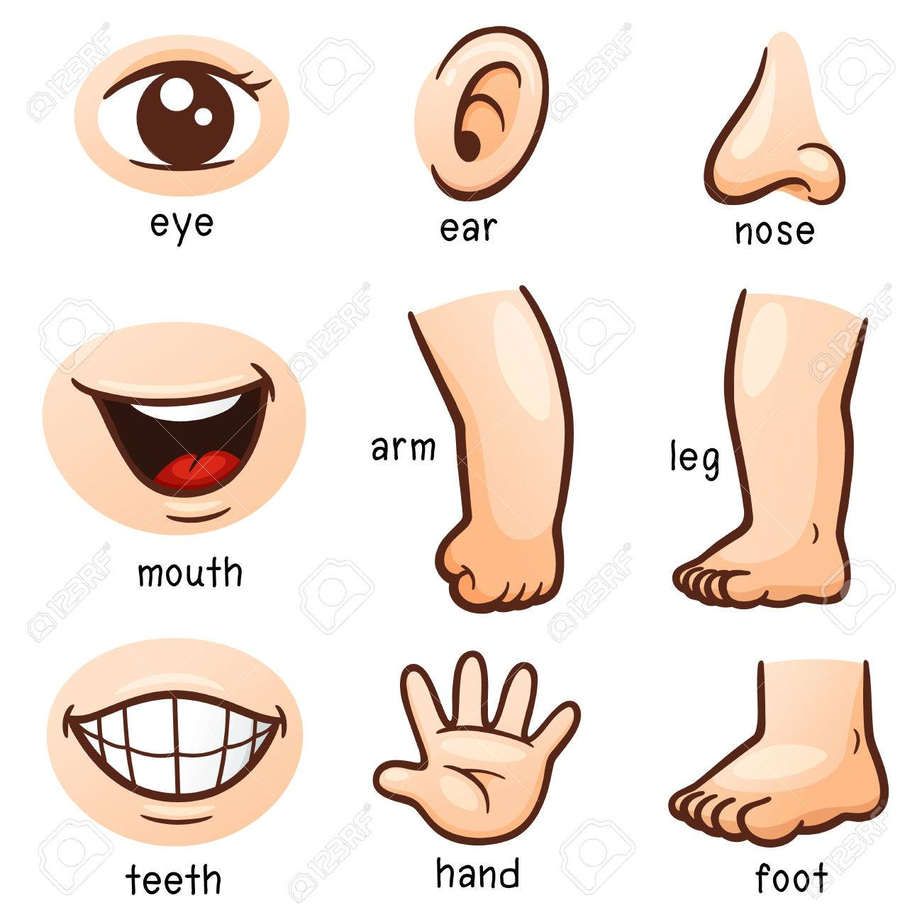 Illustration Of Vocabulary Part Of Body Royalty Free Cliparts
