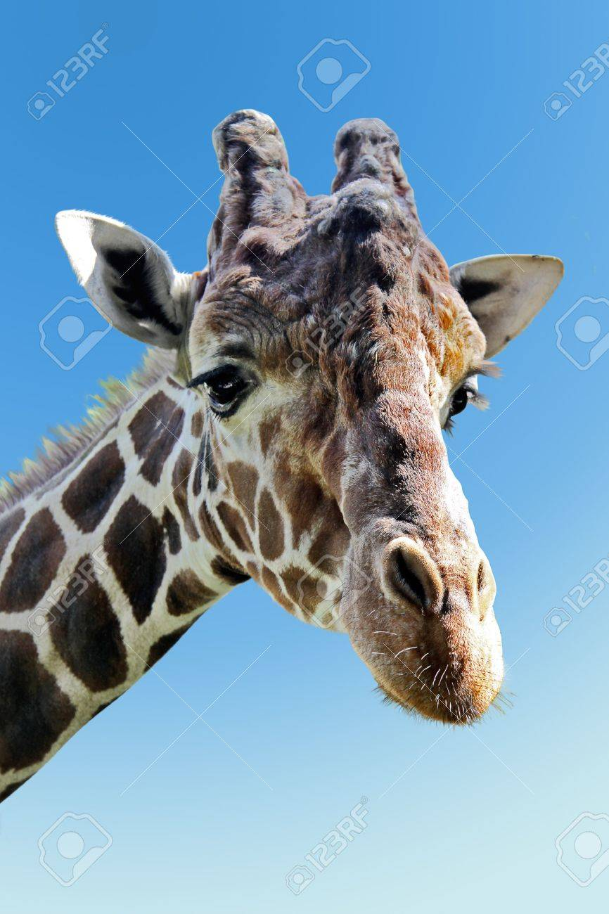 Wild giraffe portrait Stock Photo - 8101647