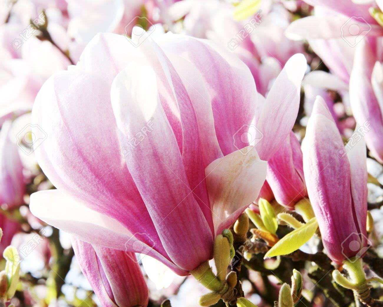 Banque d'images Gros plan de magnolia Rose arbre fleurs
