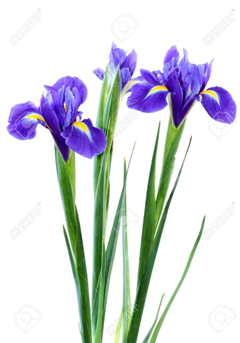 beautiful dark purple iris flower isolated on white background, Beautiful flower