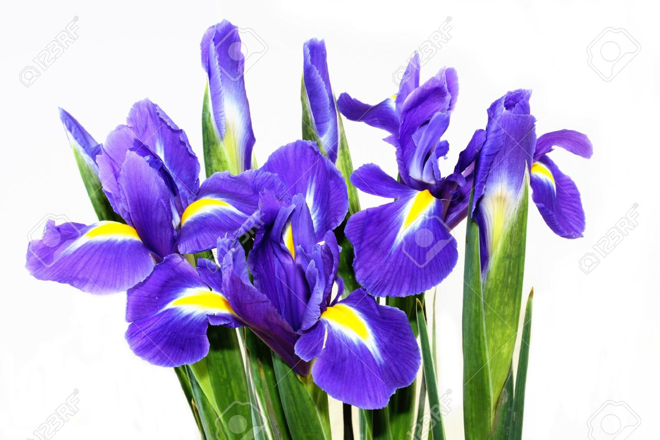 Beautiful Dark Purple Iris Flower Isolated On White Background Stock