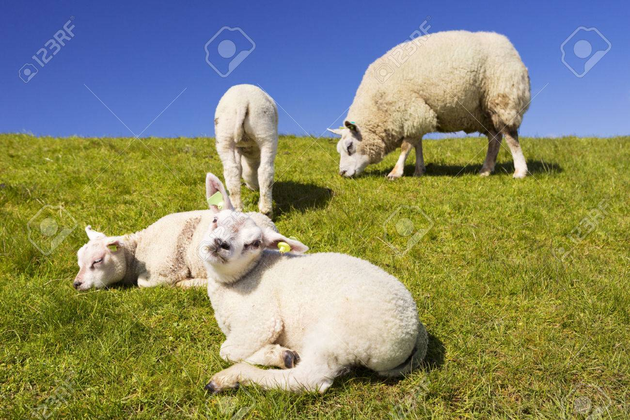 Texel sheep and lambs in the grass on the island of Texel in