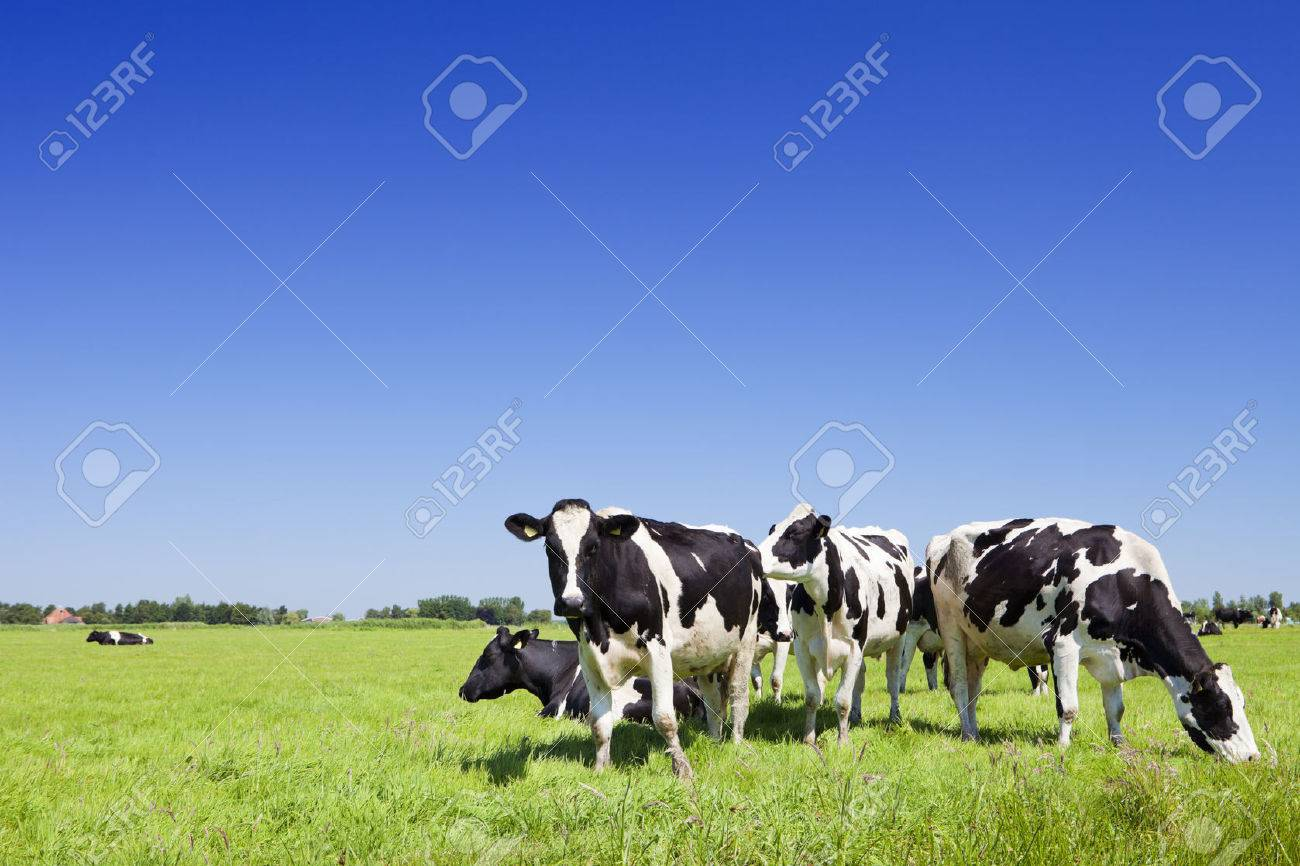 Black and white cows in a grassy field on a bright and sunny day in The Netherlands. - 51845824