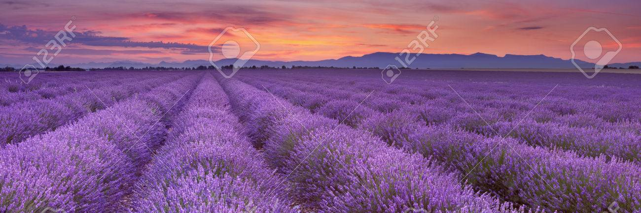 Sunrise over blooming fields of lavender on the Valensole plateau in the Provence in southern France. - 59479683