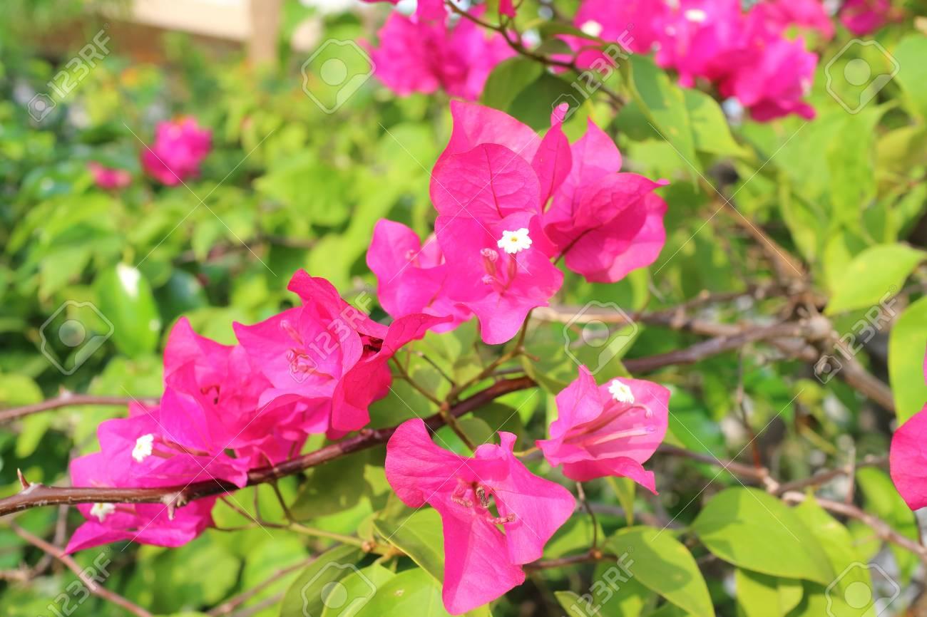 fleur de bougainvillier, bougainvillier rose de thaïlande banque d