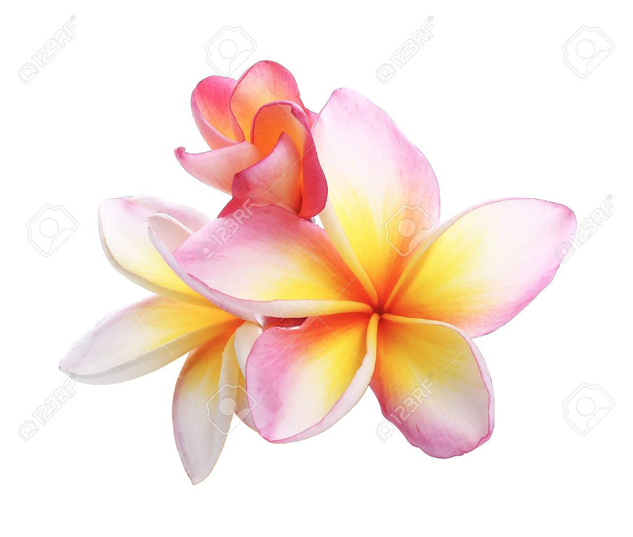 Pink bloom frangipani flower plumeria flower isolated on white pink bloom frangipani flower plumeria flower isolated on white background stock photo 38783816 mightylinksfo Choice Image