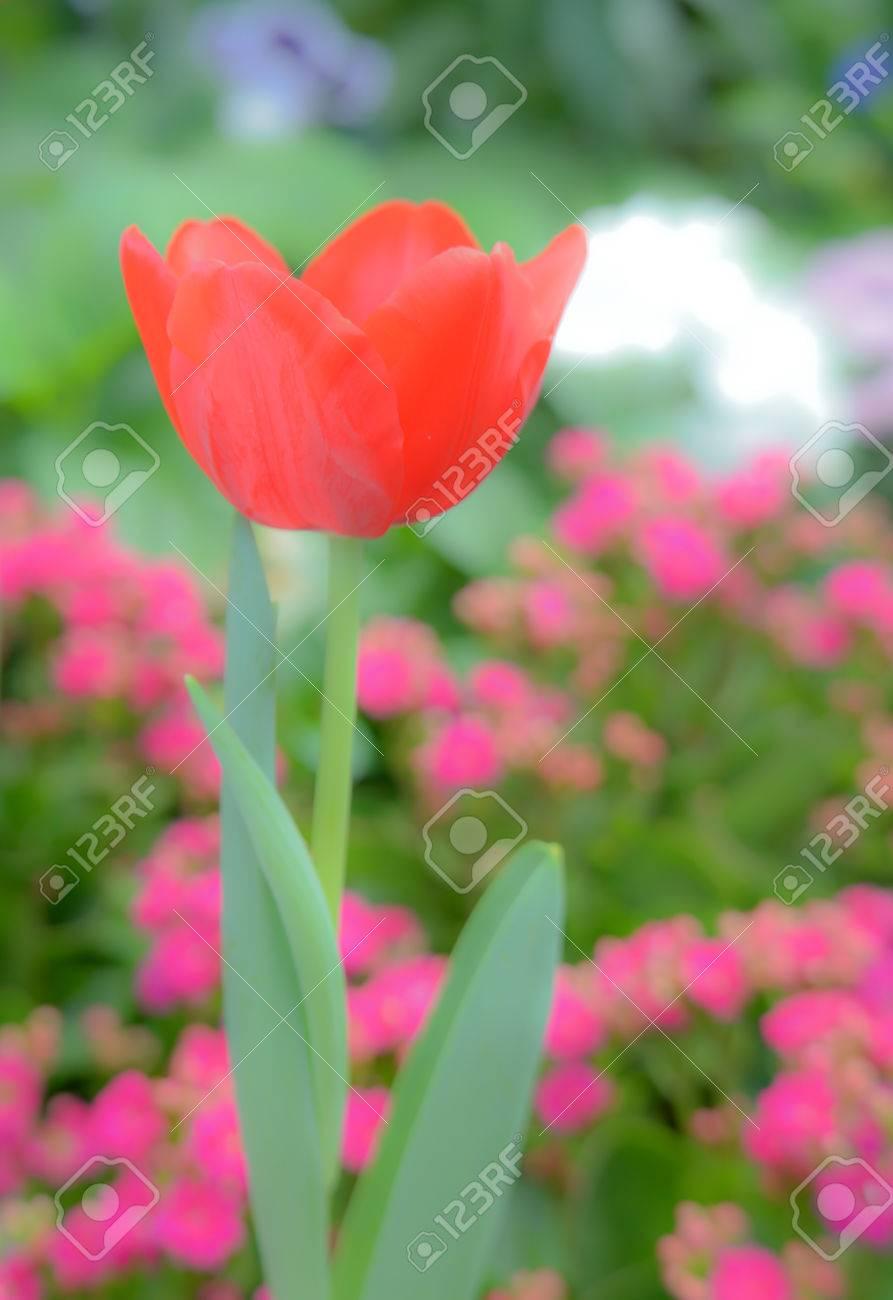 Tulpen bilder hintergrund