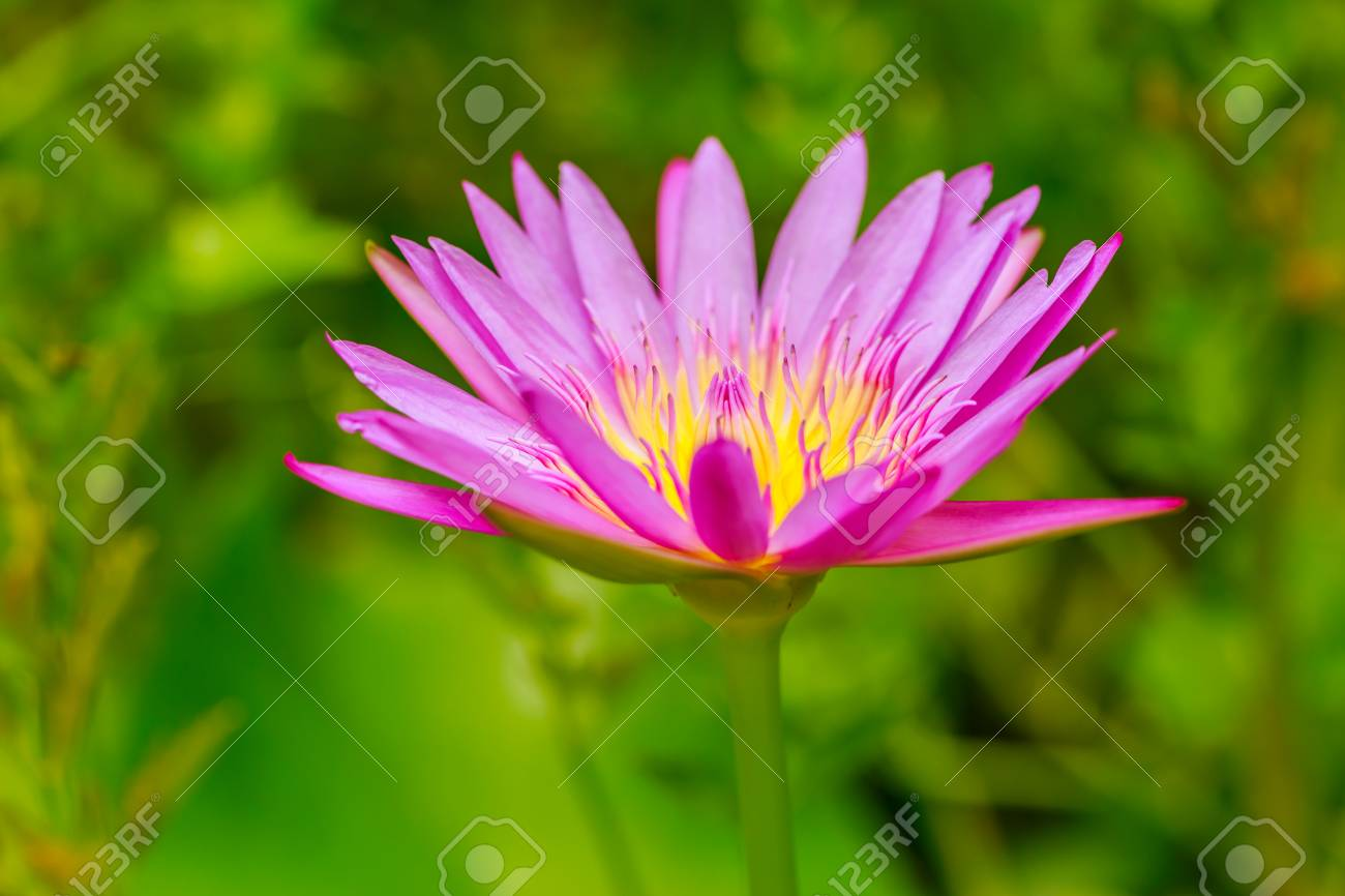 Pink lotus flower growing upright on nature background stock photo pink lotus flower growing upright on nature background stock photo 60126946 izmirmasajfo