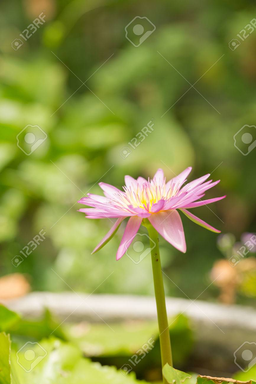 Pink lotus flower growing upright on nature background stock photo pink lotus flower growing upright on nature background stock photo 64013005 izmirmasajfo