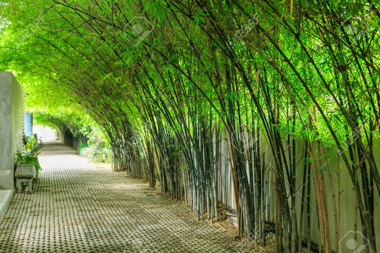 Empty Walkway Runs Through Tall Bamboo Tree Garden With Sun Light