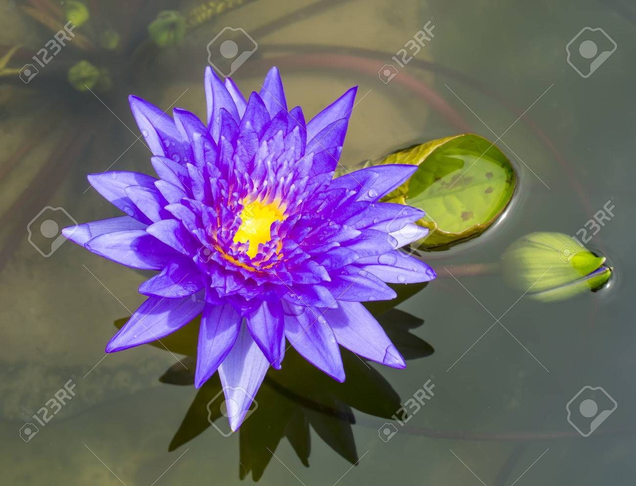 Fleur de lotus bleu, nénuphar et des gouttes d\u0027eau de pluie