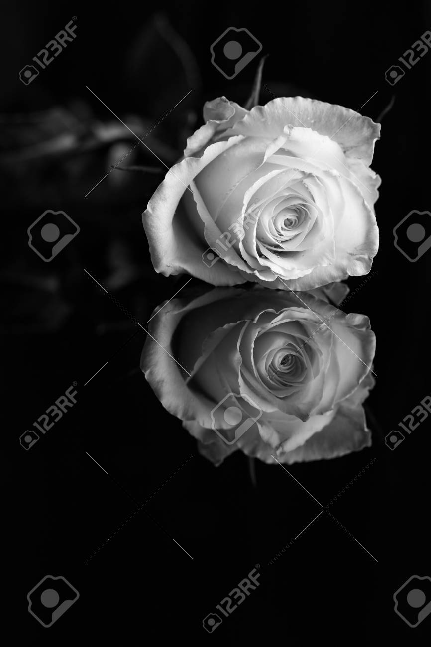 A close up of a single white rose isolated on black background