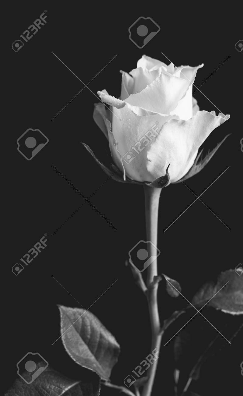 A close up of a single white rose isolated on black background dehaze effect