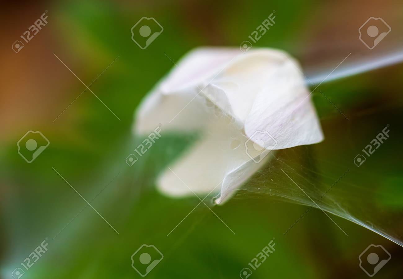 White flower covered with spider web on the green blurred background stock photo white flower covered with spider web on the green blurred background macro photography mightylinksfo