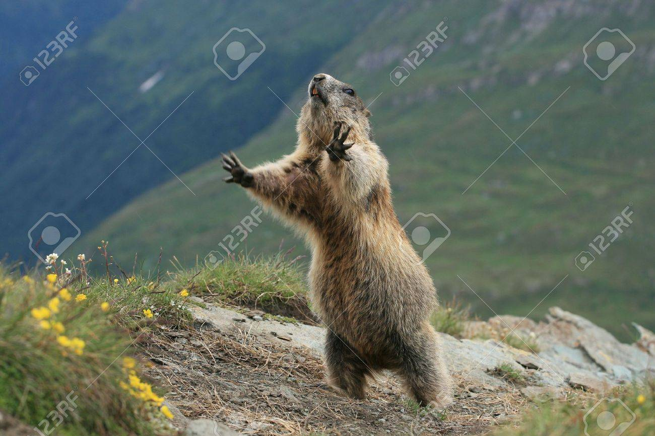 woodchuck stock photos u0026 pictures royalty free woodchuck images
