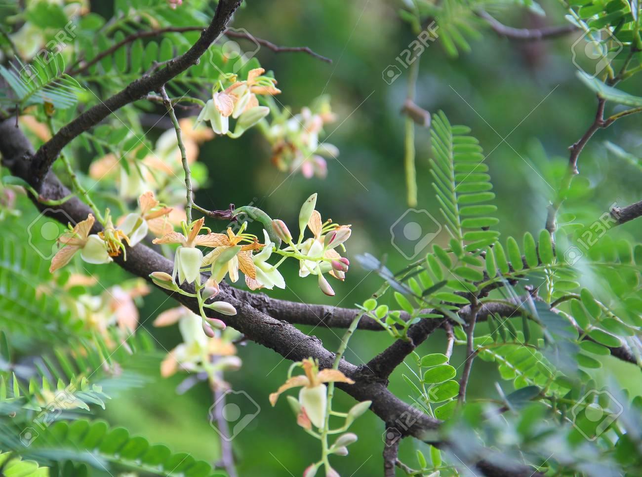 Tamarind Plant Pictures