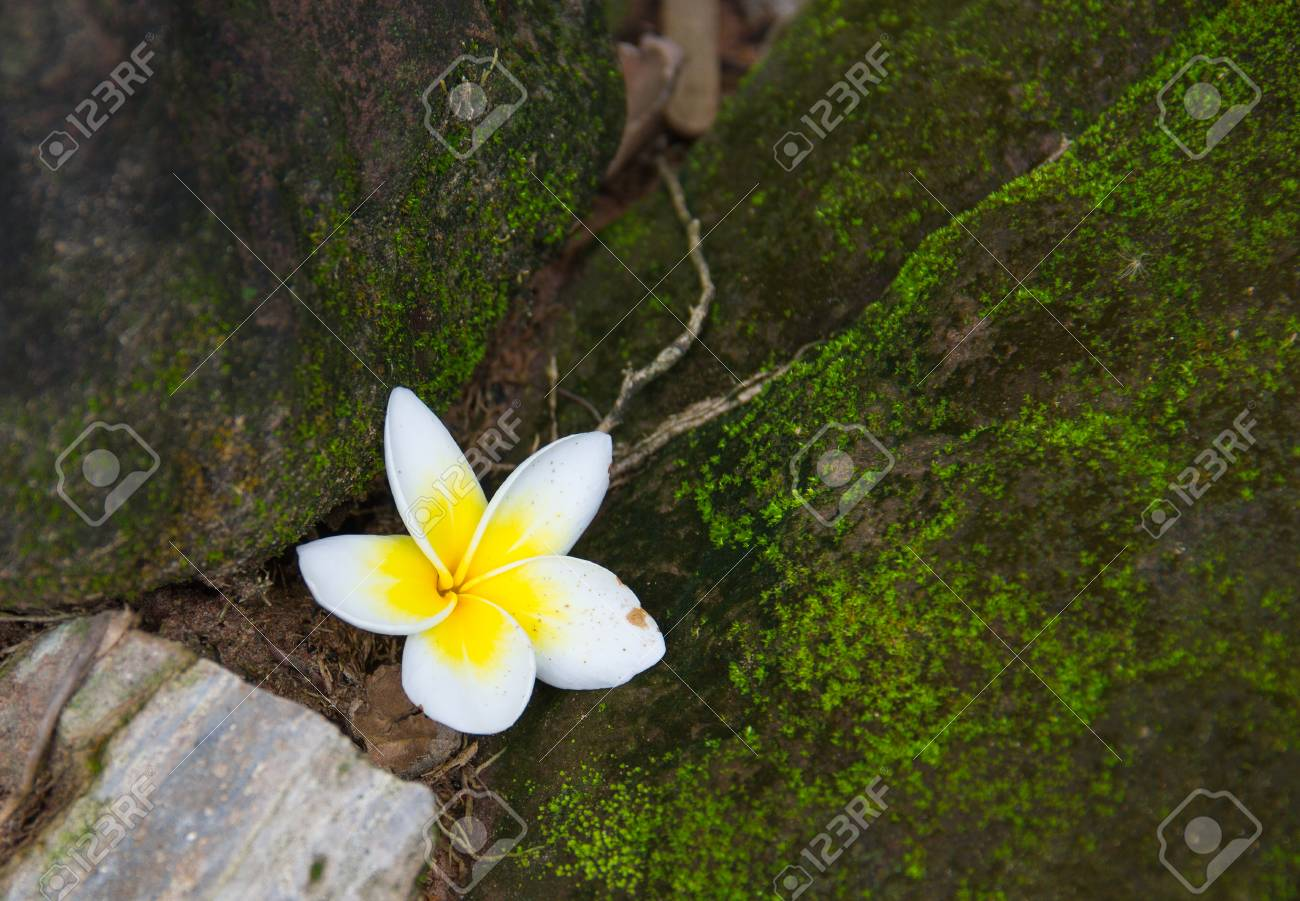 White Frangipani Flowers Fall On The Floor Near The Stones With