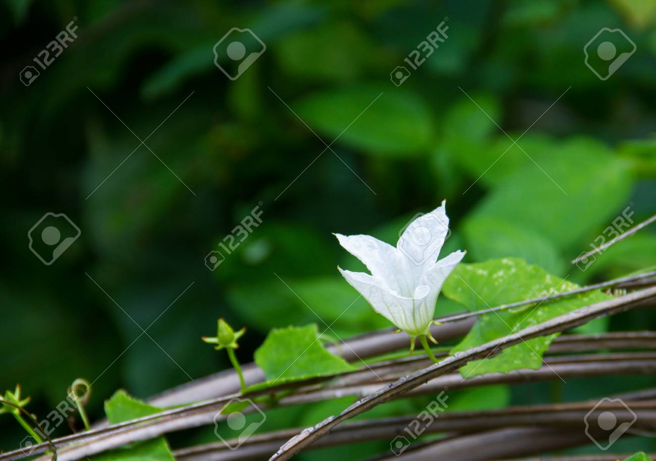 Ivy gourd vine with white flowers growing on dry coconut leaves ivy gourd vine with white flowers growing on dry coconut leaves stock photo 82426930 mightylinksfo