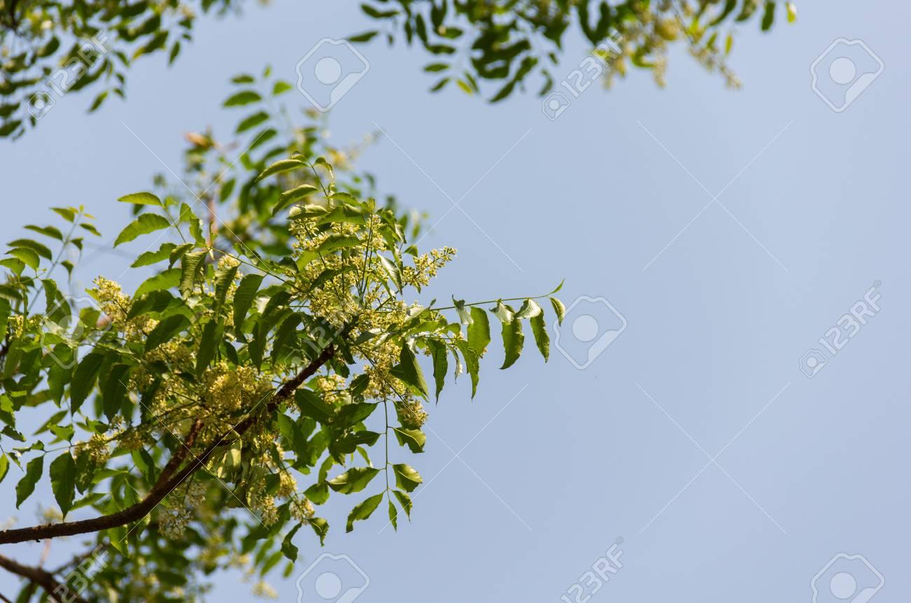 Siamese Neem Tree Flower Scientific Name Azadirachta Indica