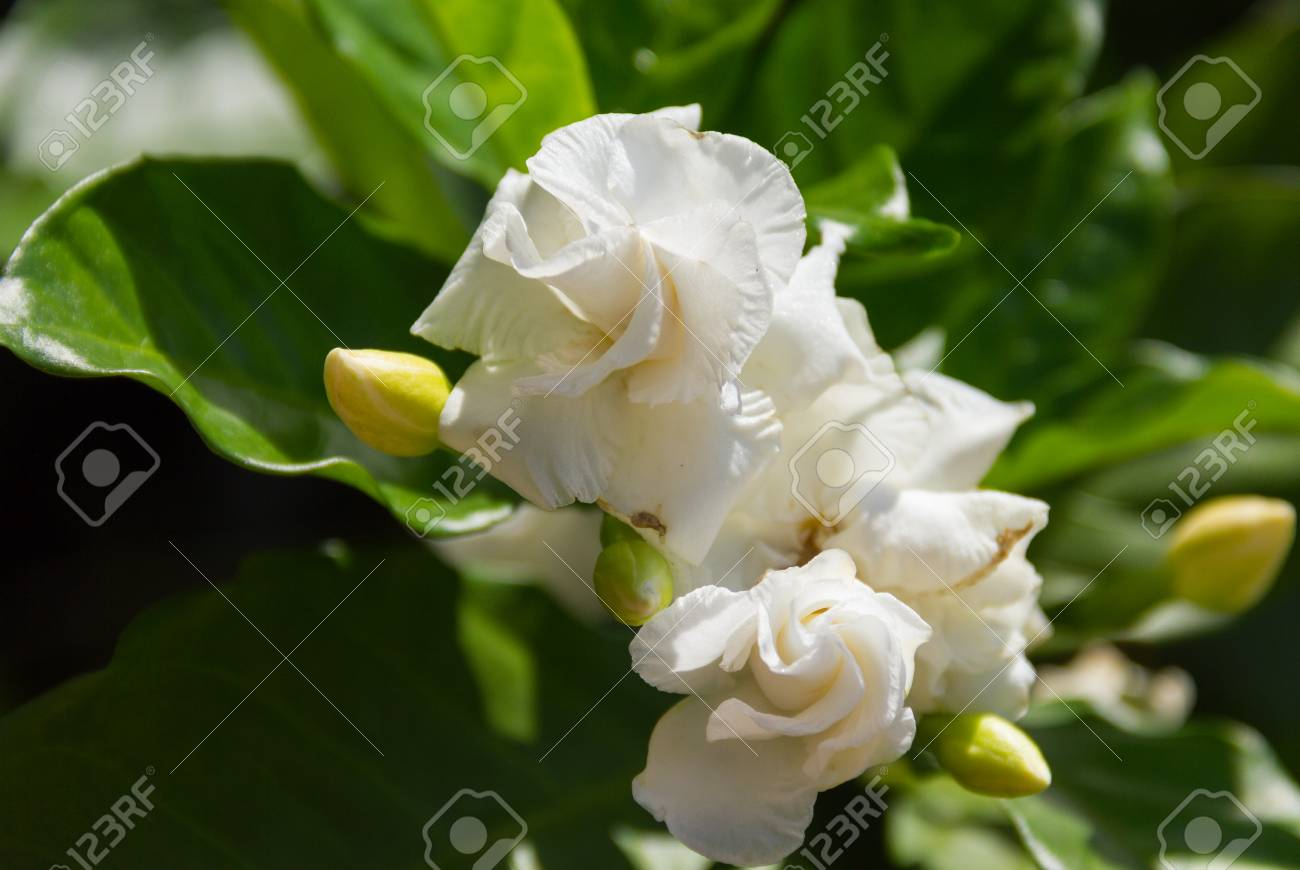 Arabian Jasmine Jasminum Sambac White Flower On Tree With Warm