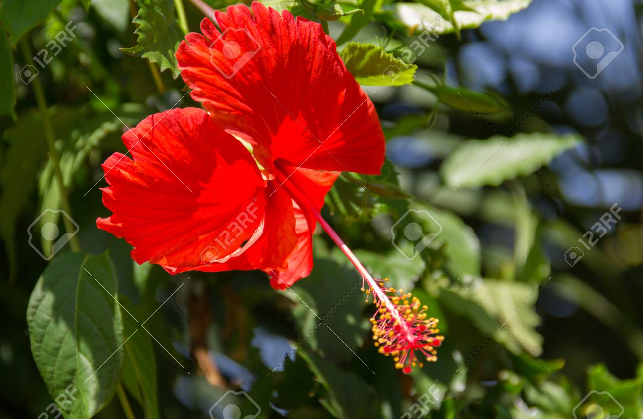 Hibiscus scientific name hibiscus rosa sinensis red flowers hibiscus scientific name hibiscus rosa sinensis red flowers bloom beautifully on a izmirmasajfo Image collections