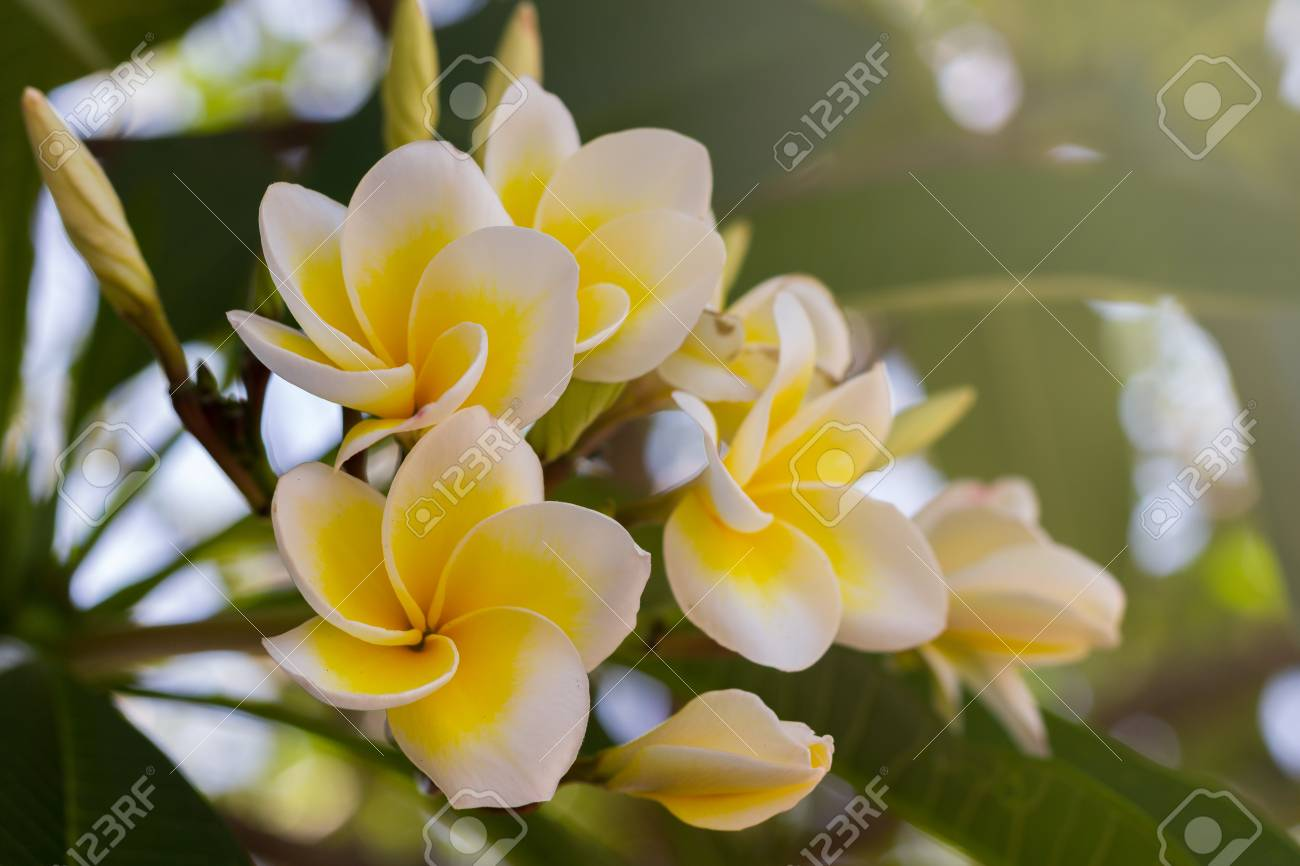 Plumeria (frangipani), yellow and White flowers on tree in the..