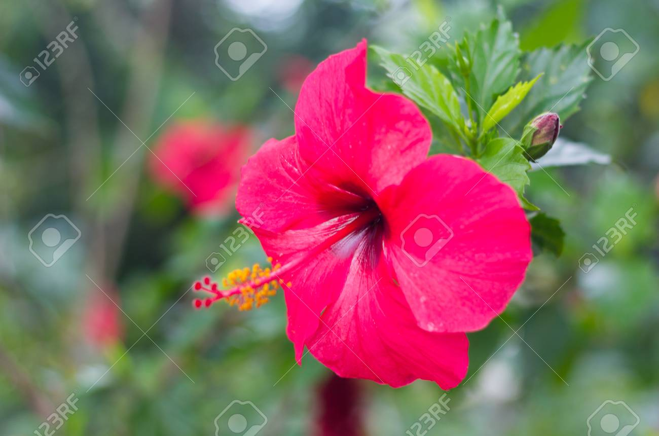 Beautiful Red Hibiscus Flower Blooming On A Tree In The Garden