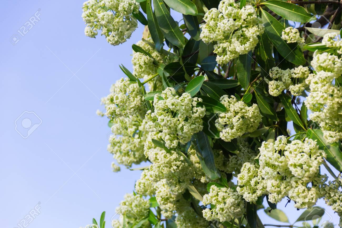 Devil Tree Scientific Name Alstonia Scholaris White Flowers