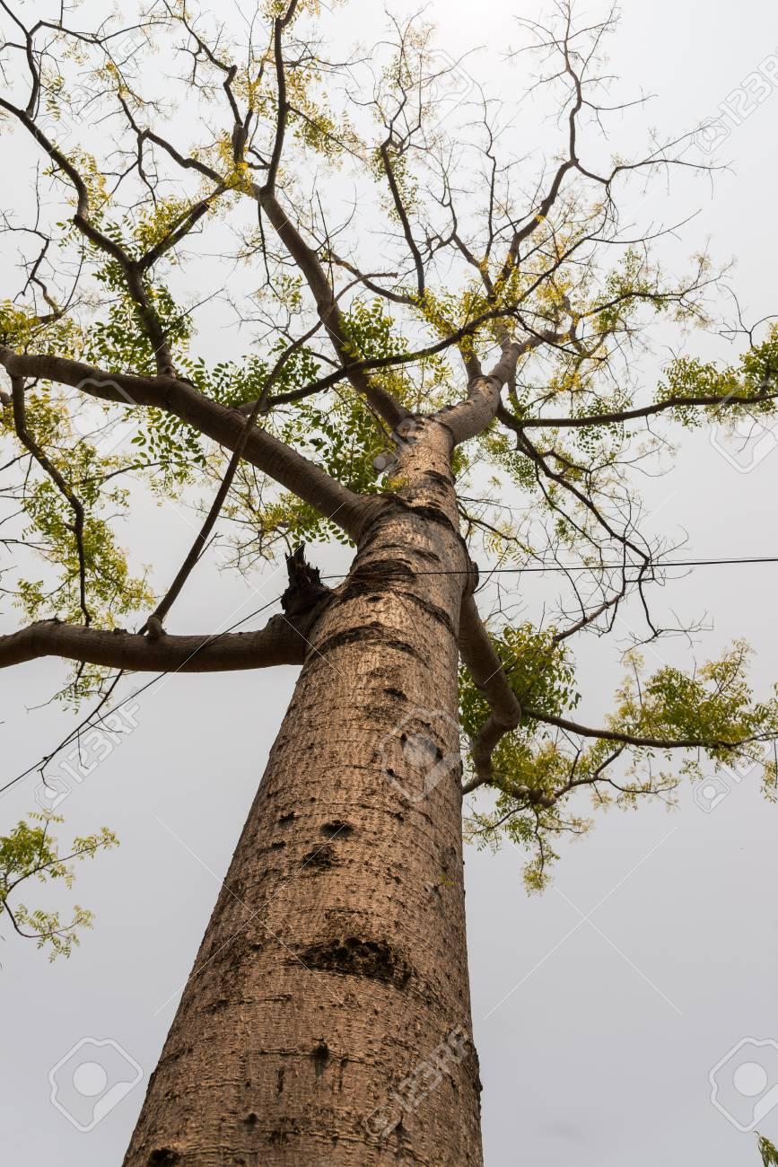 Hog Plum Tree Scientific Name Spondias Pinnata In Natural