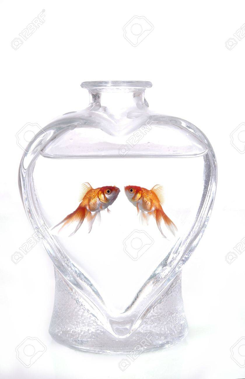 Two goldfish face one another in a heart shaped vase filled with two goldfish face one another in a heart shaped vase filled with water the reviewsmspy