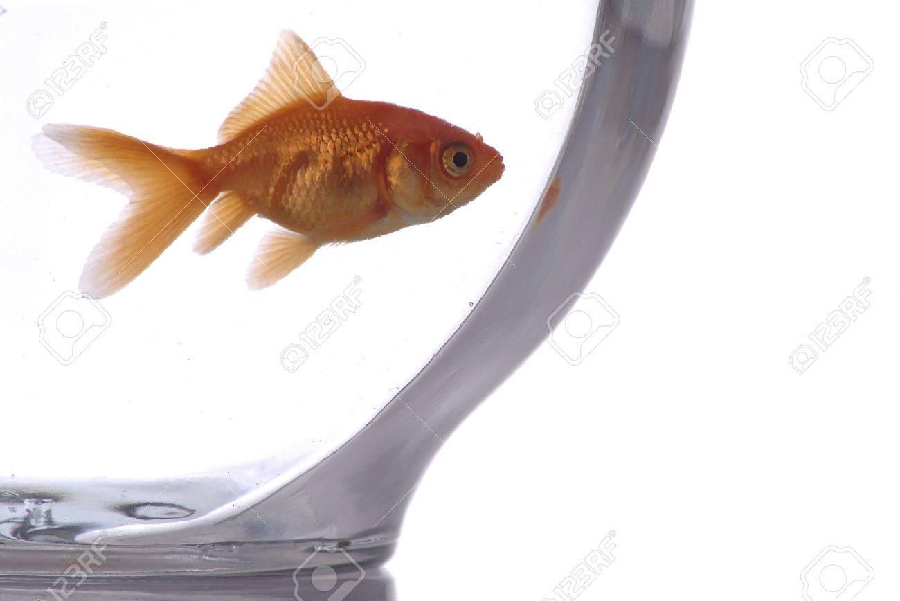 Un primer de un pez de colores en un bol sobre un fondo blanco. Foto de archivo - 749821