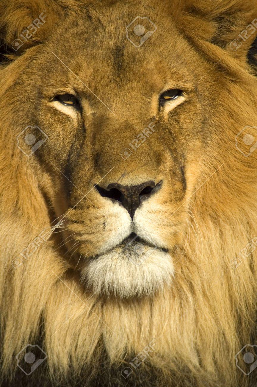 Bien connu Un Portrait De Plan Rapproché D'un Beau Lion Africain. Le Visage  UN84