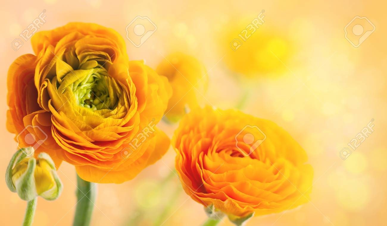 Floral Arrangement With Yellow Ranunculus Flowers Stock Photo Picture And Royalty Free Image Image 115136749