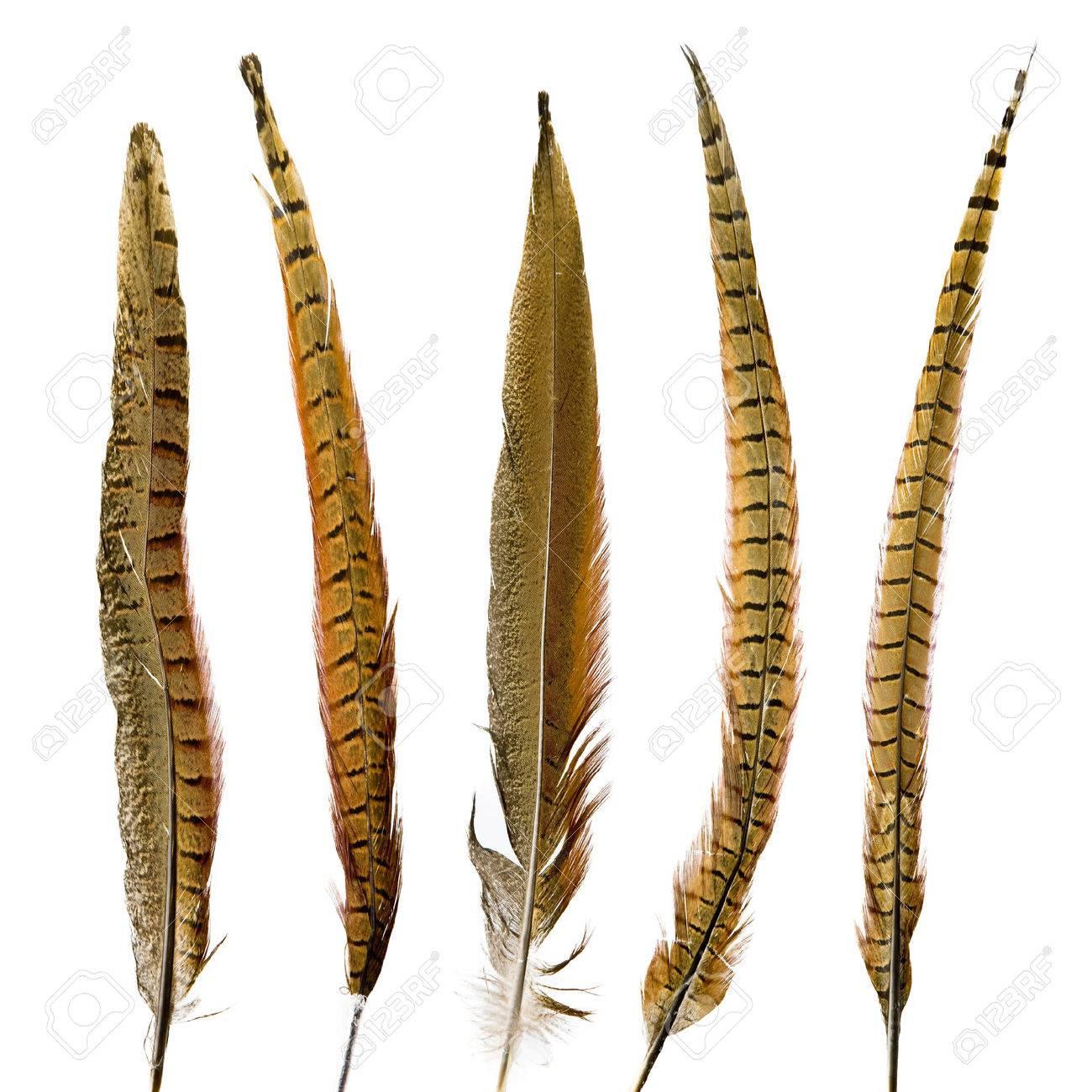 pheasant feathers set Stock Photo - 40774487